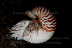 Chambered nautilus pictures