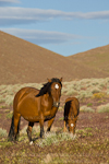 Wild horse mare with colt (baby) photos