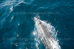 Pantropical spotted dolphin pictures
