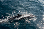 Pantropical spotted dolphin photos