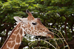 Reticulated Giraffe photos