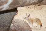Fennec fox images