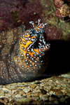 Dragon moray photos