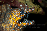 Dragon moray pictures