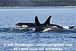 Killer Whales images
