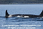 Killer Whales photos