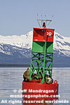 Steller Sea Lions pictures