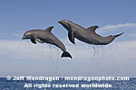 Bottlenose Dolphins photos