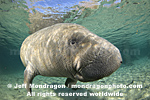 West Indian Manatee pictures
