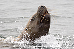 Steller (or northern) Sea Lion pictures