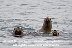 Steller (or northern) Sea Lions pictures