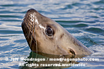 Steller (or northern) Sea Lion photos