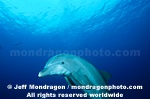 Atlantic Bottlenose Dolphin pictures