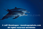 Spotted Dolphins photos
