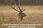 Bull Elk photos