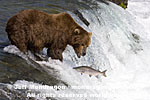 Brown (Grizzly) Bear pictures