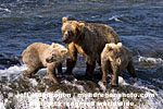 Brown (Grizzly) Bear Sow pictures