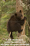 Brown (Grizzly) Bear Cub images