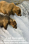 Brown (Grizzly) Bears pictures