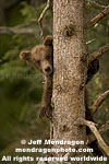 Brown (Grizzly) Bear Cub pictures