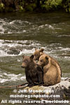 Brown (Grizzly) Bear Sow photos
