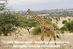 Masai Giraffe photos