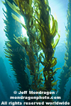 Giant Kelp Forest photos