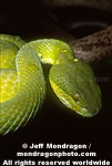 Popes¹ Pit Viper pictures