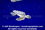 Baby Loggerhead Turtle images