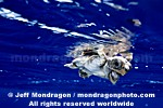 Baby Loggerhead Turtle pictures