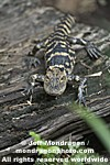 Baby American Alligator pictures