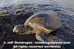 Green Sea Turtle images