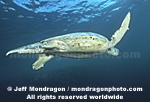Green Sea Turtle pictures