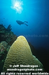 Brain Coral images