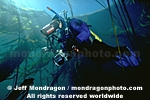 Diver in Kelp Forest pictures