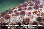Red Sea Urchins photos