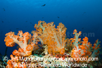 Soft Coral on Tropical Reef images