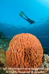 Diver over Giant barrel sponge photos