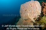 Sea fan on tropical coral reef images